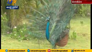 Watch Video: Peacock Dance on Railway Track in Tamilnadu..