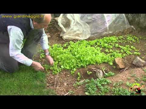 Coltivare l 39 insalata for Semina a spaglio