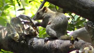 Squirrel at Chiang Mai Zoo dining on bananas then chases bird away