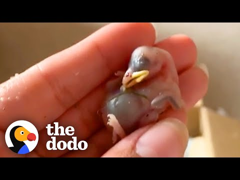 Tiny, Bald Baby Birds Get So Fluffy And Fly Back To The Wild   The Dodo Little But Fierce