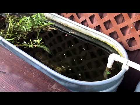 Bullheads Catfish Surface Feeding in my Aquatic System