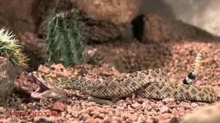 ガラガラヘビ11
