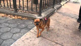 10 hours walking around NYC as a Brussels Griffon