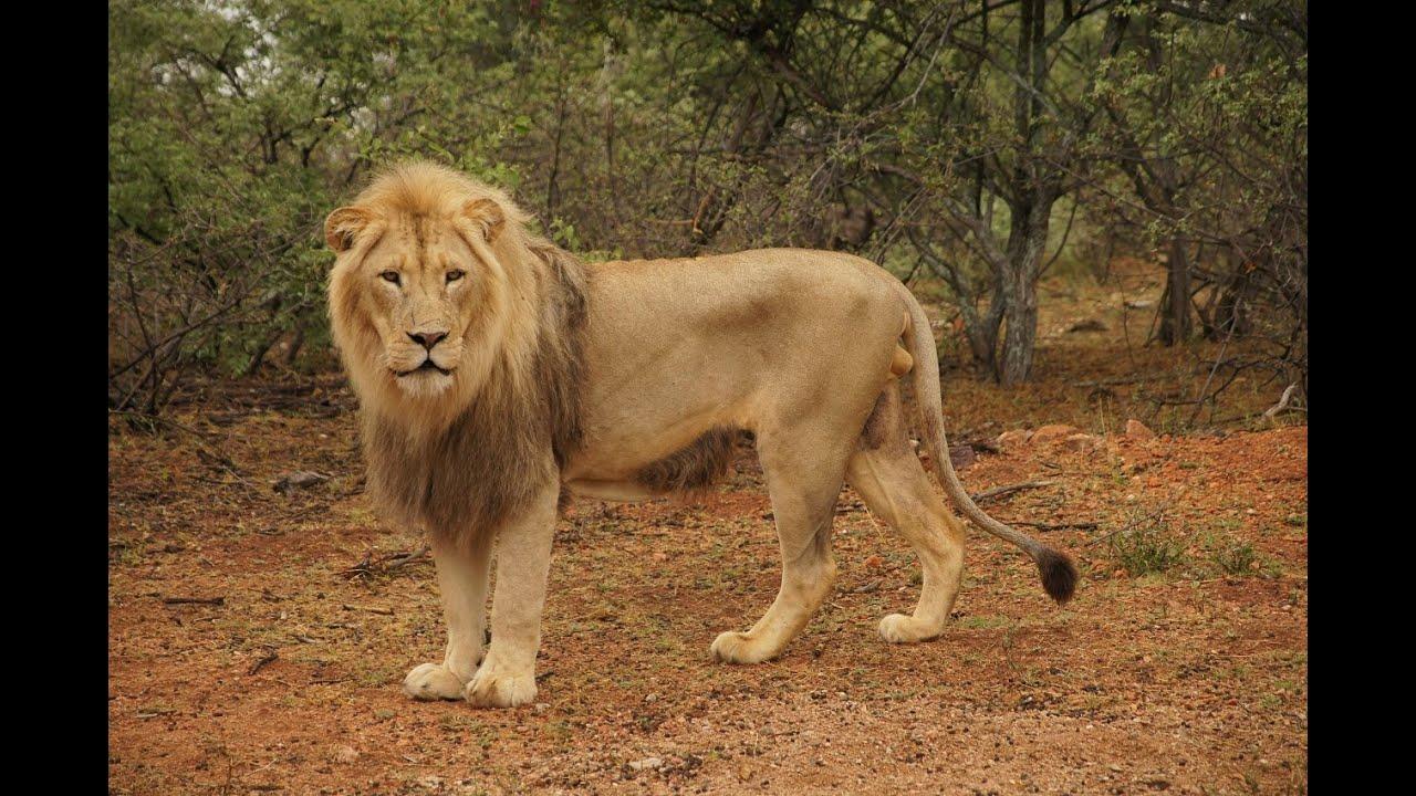 Adult Lion 104