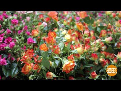 Миллион алых роз! И не только алых, и не только роз... Доброе утро. Суббота. Фрагмент выпуска от 06.