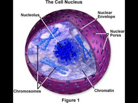cell nucleus | ck-12 foundation, Sphenoid