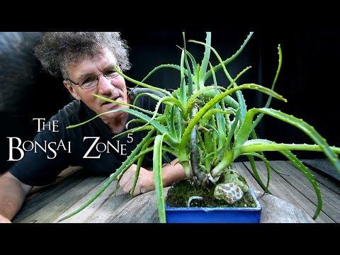 My Aloe Bonsai and More, Part 1, The Bonsai Zone, Aug 2018