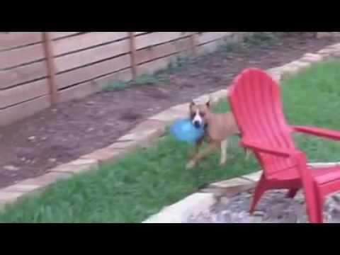 Blue Dog Rescue Leesa Rae Enjoying the Good Life - Adopted!