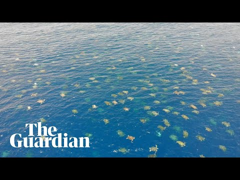 Great Barrier Reef: drone footage allows researchers to count 64,000 green sea turtles.
