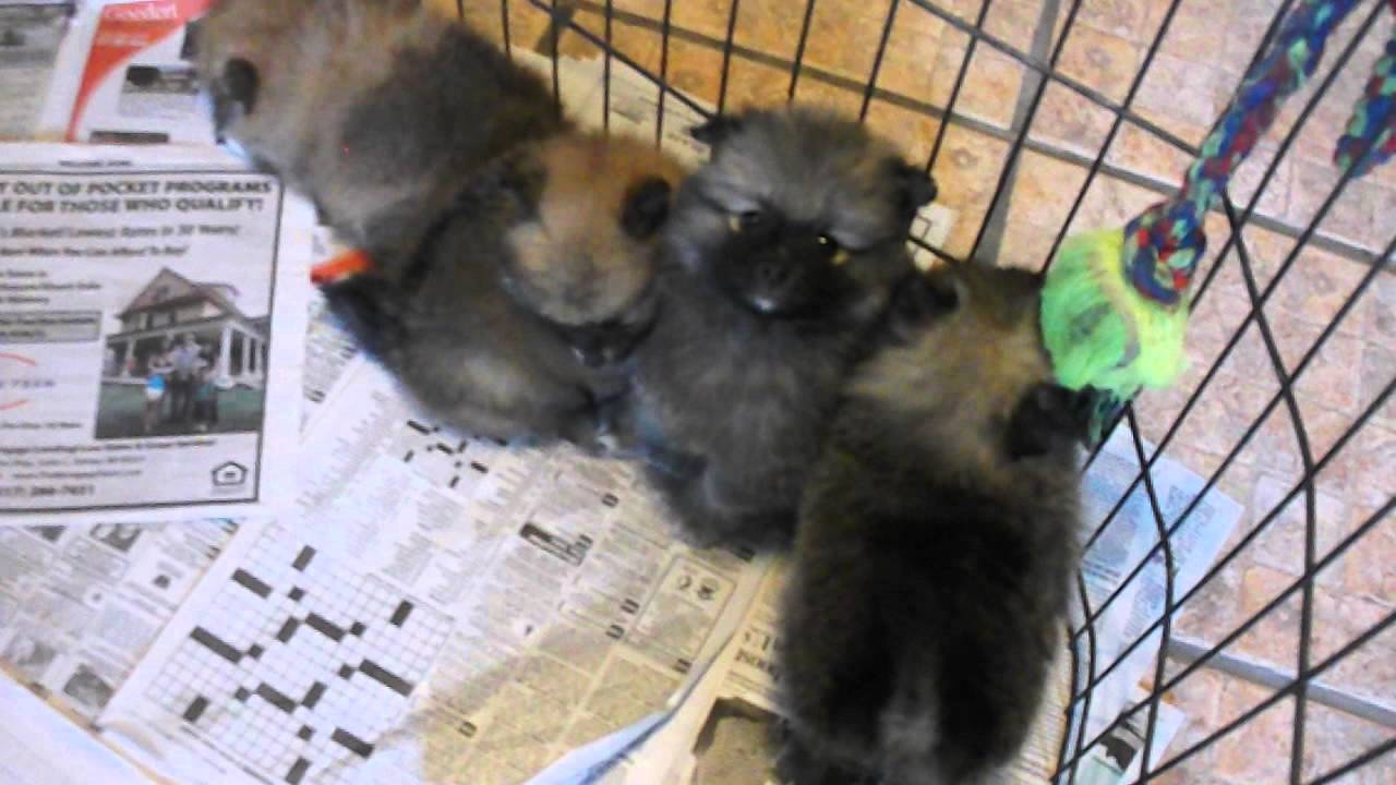 pomeranian puppies for sale michigan pomeranian puppies for sale in michigan youtube 5394