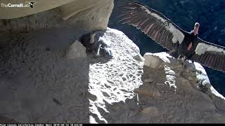 Female Condor Shows Off 9-Foot Wingspan During Feeding Visit With Chick – Aug. 14, 2019