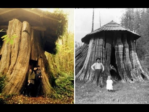 Громадные деревья срубали, а в пнях жили переселенцы.