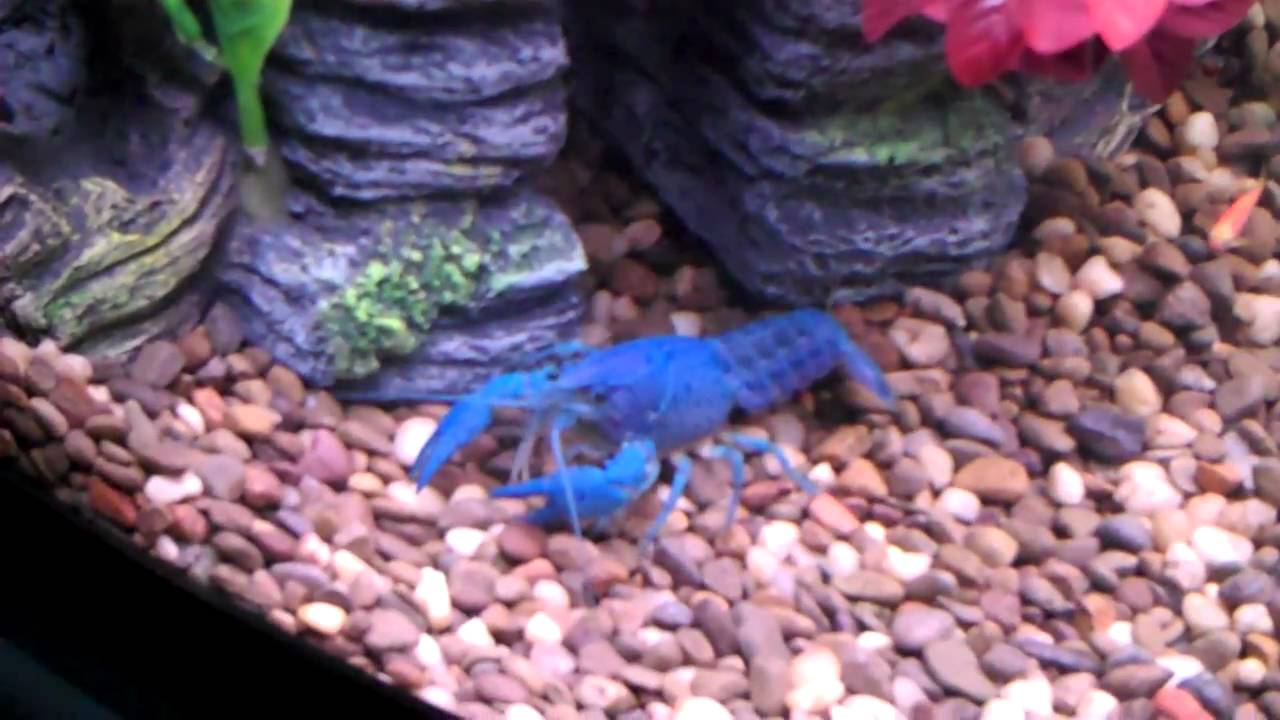 Electric Blue Cr...Blue Lobster Pet
