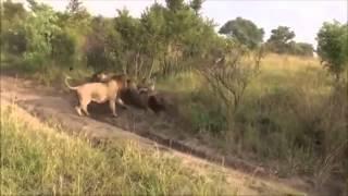 Leones Salvajes Matan a León Macho por Venganza (Videos Asombrosos)