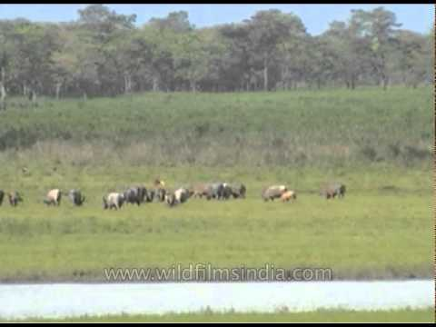 Wild Water Buffalo And Elephant 10 - Smashpipe Travel