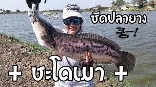 ชะโดเมา ซัดปลายาง...งง เด้  by fishingEZ