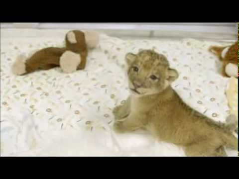 Baby Lion Cubs Happy Despite No Mother