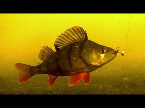 Рыбалка ловля окуня подводная съёмка
