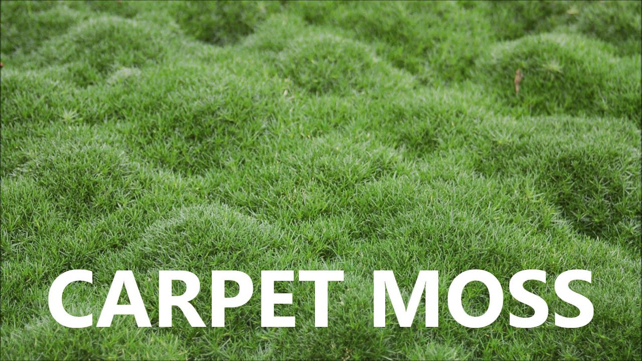 Live Carpet Moss For Sale Youtube