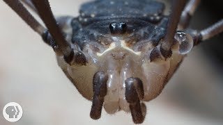Daddy Longlegs Risk Life ... and Especially Limb ... to Survive | Deep Look