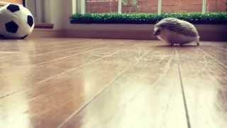 ボールで遊ぶハリネズミ