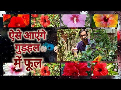 ऐसे आएंगे गुड़हल में फूल / फूल आनेकि गारंटी / Hibiscus Flowering Guaranteed Tips