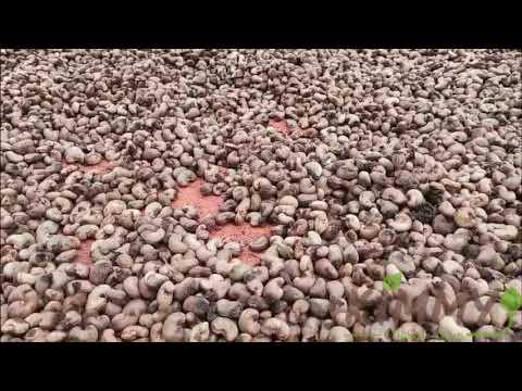 SUN-DRYING Raw Cashew Nuts (RCN) From Kimmy farm Factory Yard!