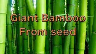 Growing Giant Bamboo from Seed - Phyllostachys pubescens