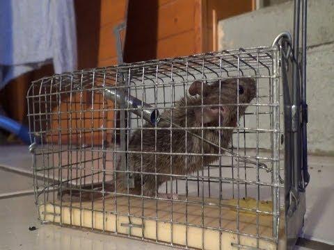 Trampa casera para zarigueyas ratones conejos zorros - Trampas para ratones vivos ...