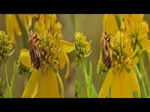 3D Pennsylvania Leatherwing Beetles