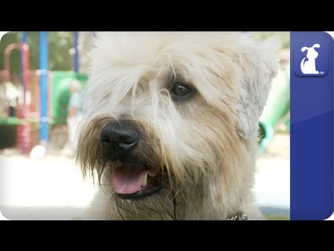 Doglopedia - Wheaten Terrier