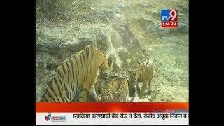 Chandrapur: ५ बछड्यांसोबत वाघीण कॅमेऱ्यात कैद   Tigress with Her Cubs-TV9