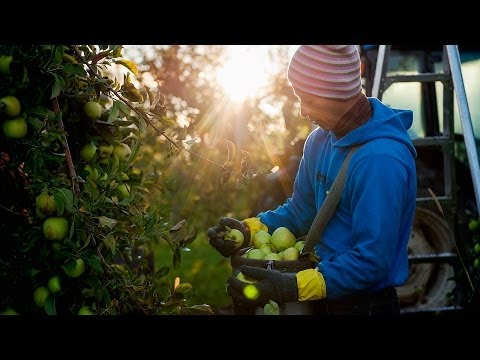 Picking apples far from home