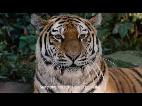 Tiger Beer and WWF Join Forces to Fight Illegal Tiger Trade