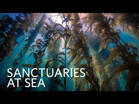 Kelp Forest Ecosystem | Sanctuaries at Sea