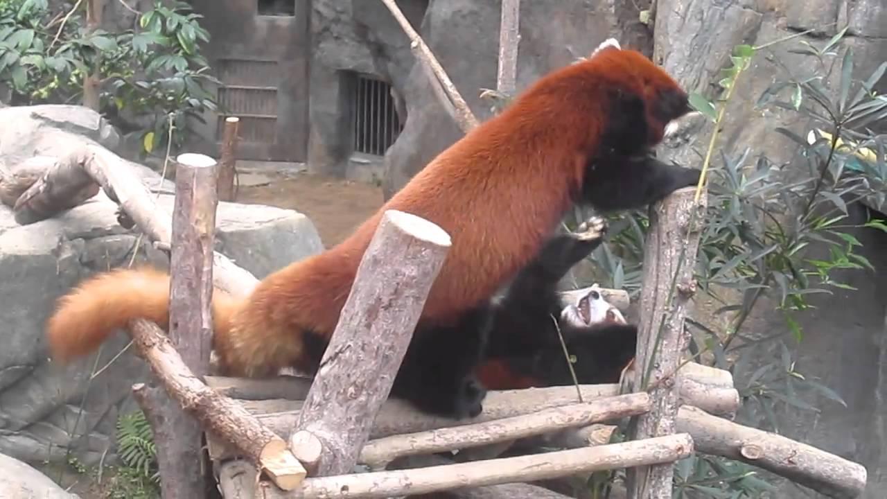 Red pandas fighting - YouTube