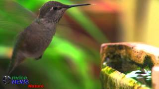 Hummingbirds in Slow-Mo in 4K at 120 FPS