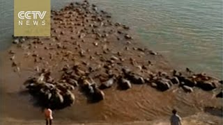 Amazing film of Chinese buffalo fighting the elements to f..