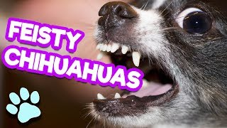 Funny Feisty Chihuahuas | TRY NOT TO LAUGH CHALLENGE