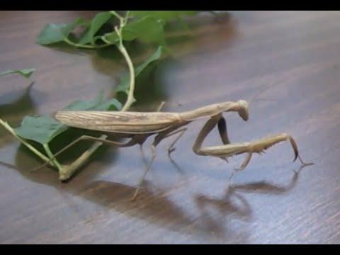 The Predatory Praying Mantis