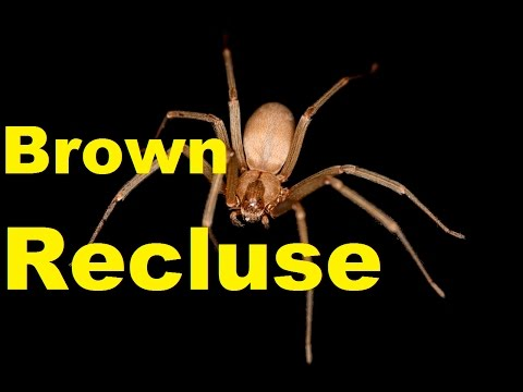 The Brown Recluse spider venom. Deadliest spider bite in ... - photo#24