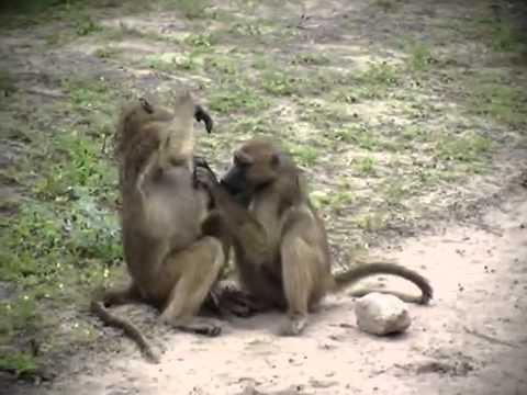 원숭이 짝짓기는 여러 번 멈추지 않았다 반복