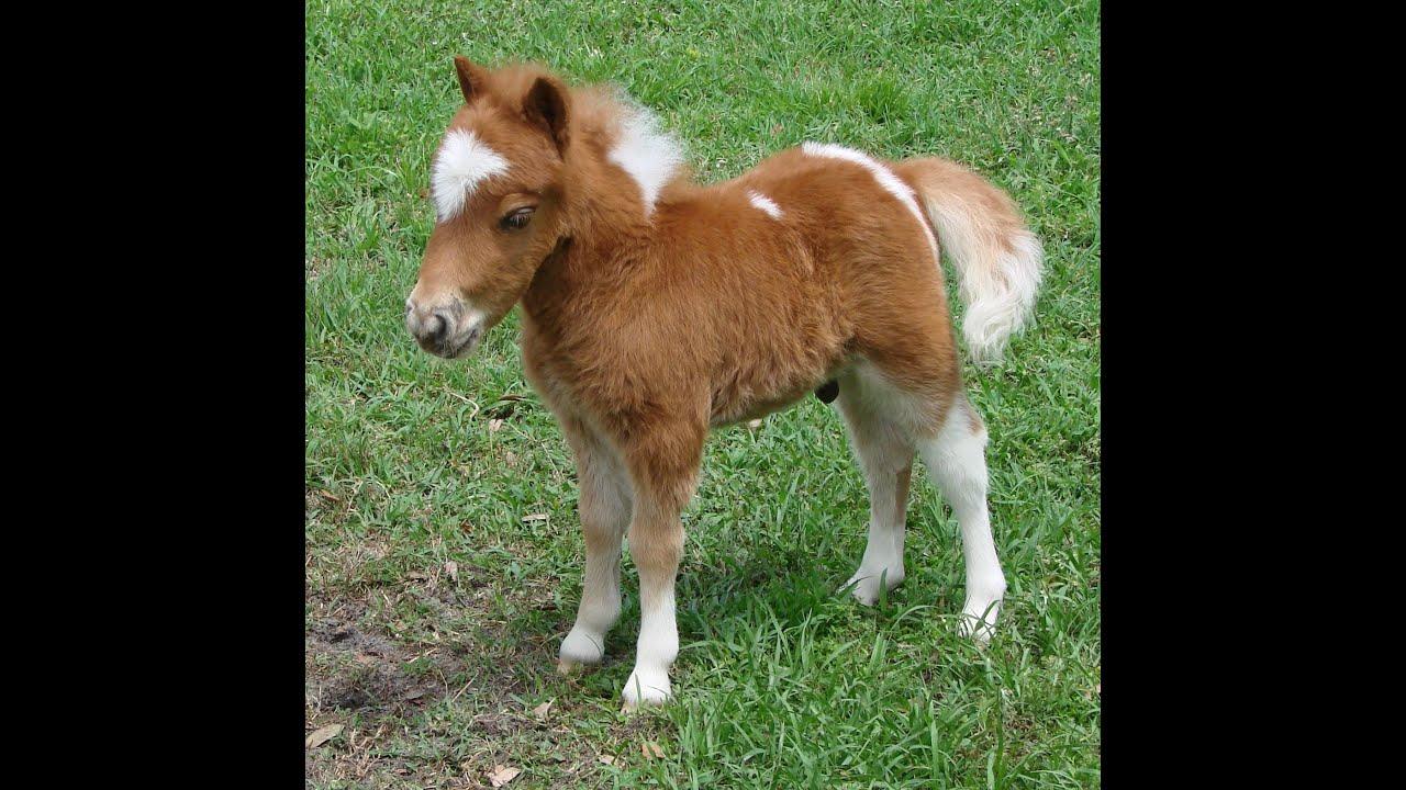 Cute baby mini horse