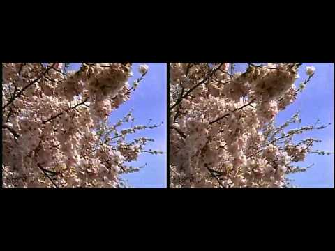 Cherry Blossoms at the National Mall in 3D yt3d:enable=true HD 3D
