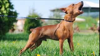 Nervous Dog Barking Sound Effect   Animal Sounds