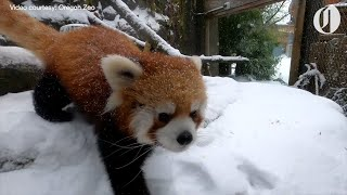 Oregon Zoo's red panda, river otters and other animals enjoy a snow day