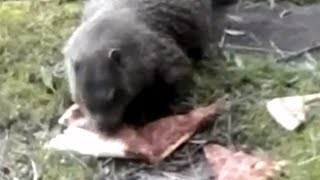 GroundHog (WoodChuck) Eating Pizza to Music
