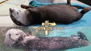 【お知らせ】カワウソ ビンゴはラッコになりました!River otter Bingo has transform into Sea Otter!
