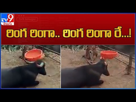 Buffalo spins plastic tub with a horn, viral video
