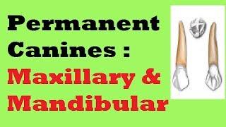 Permanent Canines : Maxillary and Mandibular
